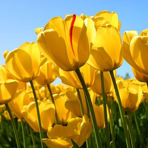 Squared tulips